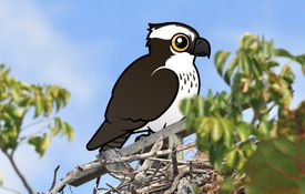 Cool Facts About Ospreys