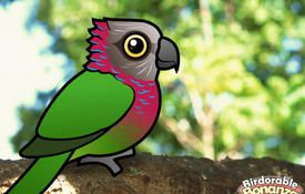 Bonanza Bird #7: Red-fan Parrot