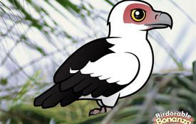 Bonanza Bird #8: Palm-nut Vulture