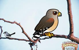 Bonanza Bird #14: Red-shouldered Hawk