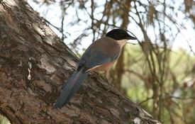 The Mystery of the Azure-winged Magpie