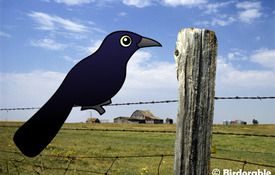 New bird: the Great-tailed Grackle