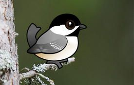 Fun facts about chickadees