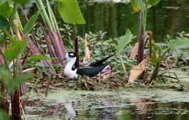 Baby Birdorable: Black-necked Stilt