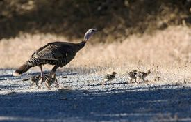 Baby Birdorable: Wild Turkey