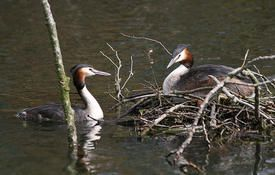 Baby Birdorable: Great Crested Grebe
