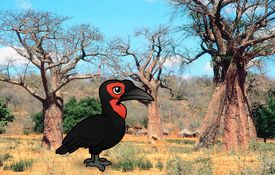 2013 Bonanza Bird #1: Southern Ground Hornbill