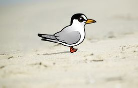 2013 Bonanza Bird #2: Least Tern