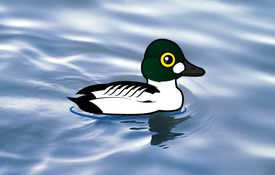2013 Bonanza Bird #8: Common Goldeneye