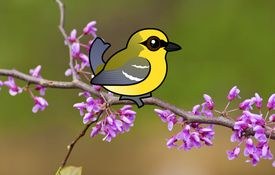 2013 Bonanza Bird #22: Blue-winged Warbler