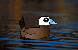2013 Bonanza Bird #23: White-headed Duck