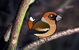 2013 Bonanza Bird #28: Hawfinch