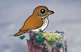 The Wood Thrush's double voice box
