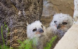 Baby Birdorable: Great Horned Owl