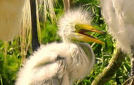 Baby Birdorable: Great Egret