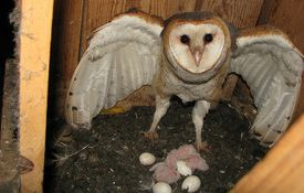 Baby Birdorable: Barn Owl