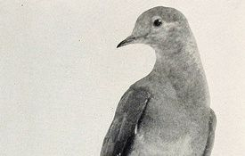 Martha Week: 100 Years Since We Lost The Passenger Pigeon