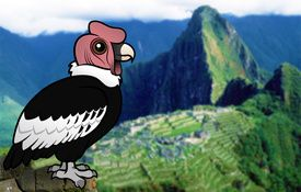 Vulture Week: Andean Condor species profile