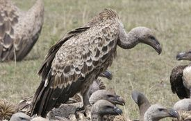 Vulture Week: Threats Facing Vultures