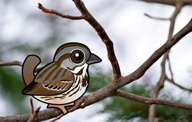 2014 Bonanza Bird #2: Song Sparrow