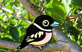 2014 Bonanza Bird #7: Black-and-yellow Broadbill