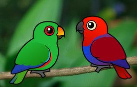 Extreme Sexual Dimorphism in Eclectus Parrots