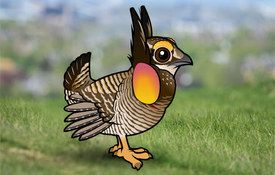 The Plight of the Greater Prairie-Chicken