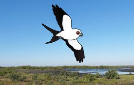 Swallow-tailed Kites and their Acrobatic Flying Skills