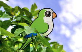 Fun Facts about Monk Parakeets