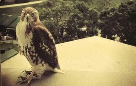 Red-tailed Hawk: New White House Groundskeeper?