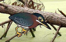 Green Heron Facts