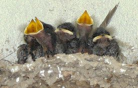Baby Birdorable: Barn Swallow