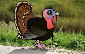 Cool facts about the Wild Turkey