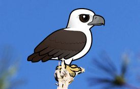 2015 Bonanza Bird #18: White-bellied Sea Eagle