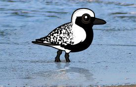 2015 Bonanza Bird #22: Black-bellied Plover