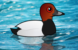 2017 Bonanza Bird #6: Common Pochard