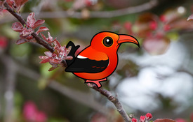 Hawaii's Iiwi: The ABA Bird of the Year for 2018