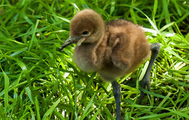 Baby Birdorable: Wattled Crane for Crane Week