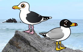 New Birds for Gull Week: Pallas's & Western Gull