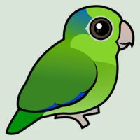 Cute Green Pacific Parrotlet