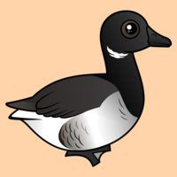 Pale-bellied Brant Goose
