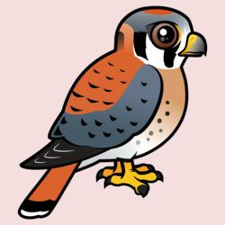 Cute American Kestrel