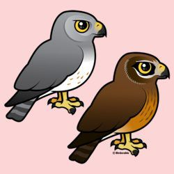 Northern Harrier Pair