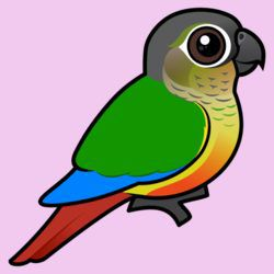 Yellow-sided Conure
