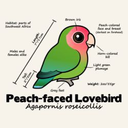 Peach-faced Lovebird Statistics