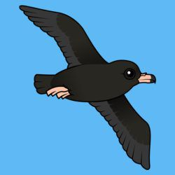 Flesh-footed Shearwater (flying)