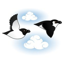 Flying Razorbills