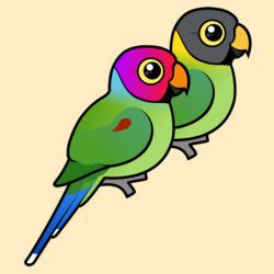 Plum-headed Parakeet Pair