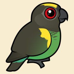 Birdorable Meyer's Parrot