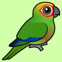 Birdorable Golden-capped Parakeet
